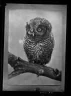 Young Western Screech Owl.