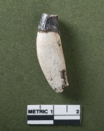 Didymictis teeth, premolar, canine-rotated side view