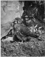 Falcon, Falco novaeseelandiae
