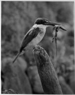 Kingfisher, Halcyon sancta