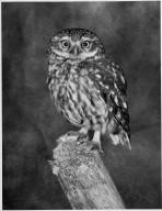 Little Owl, Athene noctus adult on post.