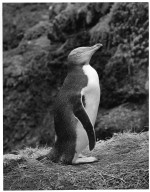 Yellow Eyed Penguin, Megadyptes antipodes