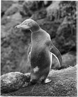 Yellow Eyed Penguin, Megadyptes antipodes