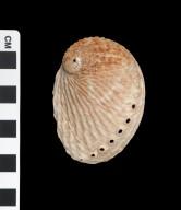 Haliotis australis