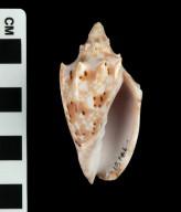 Cymbiolacca pulchra (f) woolacottae