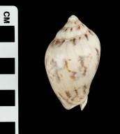 Cymbiola flavicans