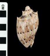 Cymbiola sophia