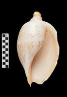 Livonia mammilla