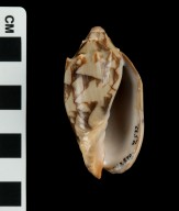 Cymbiola vespertilio