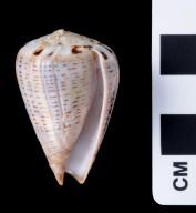 Conus glaucus