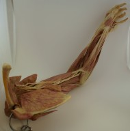 Human Plastinated Arm and Shoulder