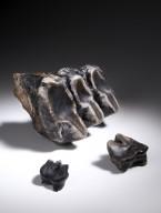 Mastodon Teeth