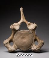 Mastodon vertebra with ruler