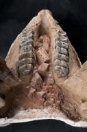 Mastodon mandible