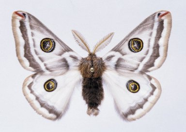 Agapamea platensis