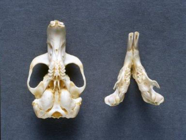 Thomomys talpoides