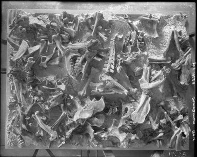 Diceratherium fossil slab