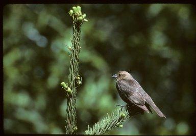 Juvenile Brown-headed Cowbird