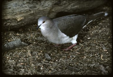 White-fronted Dove