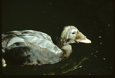 Immature Spectacled Eider