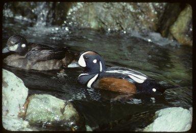 Harlequin Ducks, male (r) & female (l)