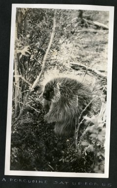 A Porcupine Sat Up for Us