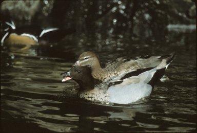 Male & female Maned Ducks