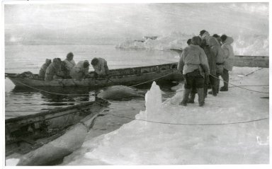 Eskimo whalers removing whale from boats and preparing to haul whale ashore