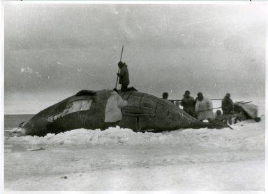 Eskimo whalers skinning whale