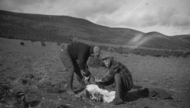 D'Amour & Brandenburg skinning an ostrich