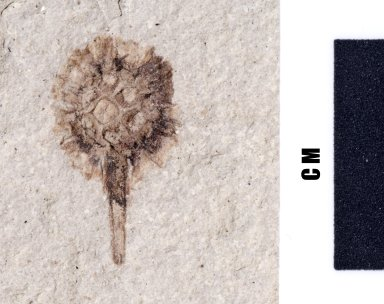 Fossil flower, PC078