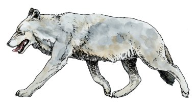 Dire Wolf, Ice Age Mammal