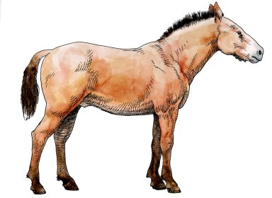 Western Horse, Ice Age Mammal