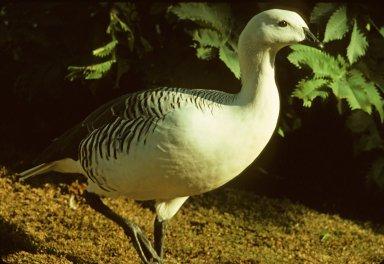 Upland Goose, or Magellan Goose