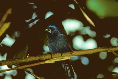 Glaucous-blue Grosbeak, also known as Indigo Grosbeak