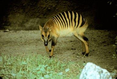 Striped-back Duiker, or Zebra Duiker