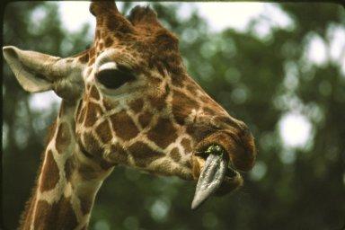 Reticulated, or Somali, Giraffe