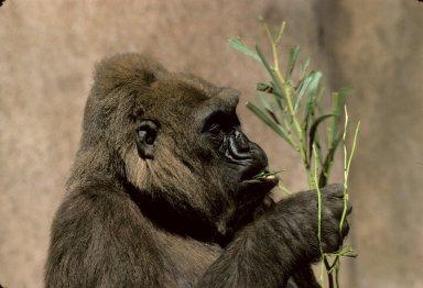 Adult female Gorilla