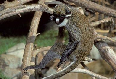 White-nosed Guenon