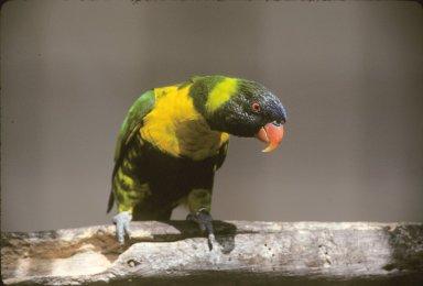 Rainbow, or Coconut Lorikeet