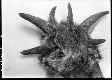 Cottontail with Horns