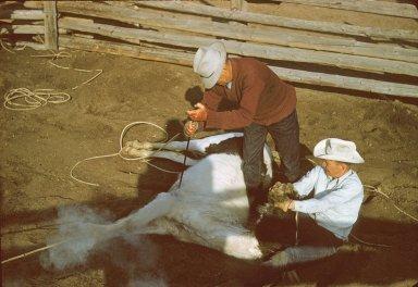 Branding horses