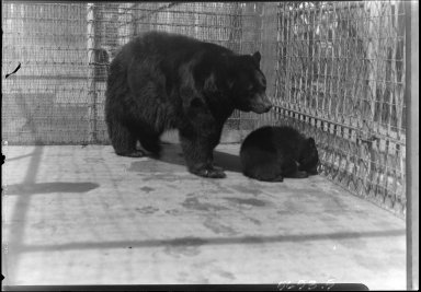 Black Bear and Cub at the Denver Zoo