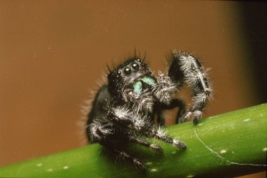 Jumping Spider on green stalk