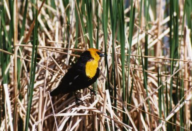 Yellow-headed blackbird sitting on grasses