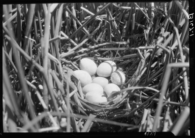 Ruddy duck nest & eggs