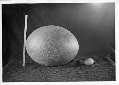 Aepyornis egg next to a chicken egg