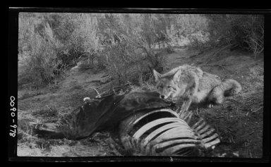 Coyote at Kill