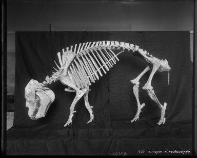Oreodont Skeleton