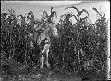 Homer detasseling corn
